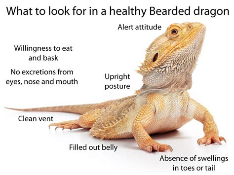 how often do bearded dragons go to the bathroom what to look for in a healthy pet bearded dragon bearded