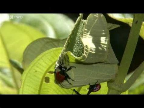 bbc nature giraffe weevil videos news and facts the giraffe weevil bbc madagascar the kid should see this