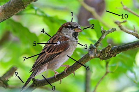 Essay On The Bird Sparrow by House Sparrow Identification Diagrams