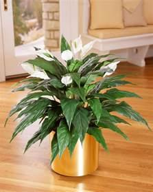 buy spathiphyllum silk floor plant at petals