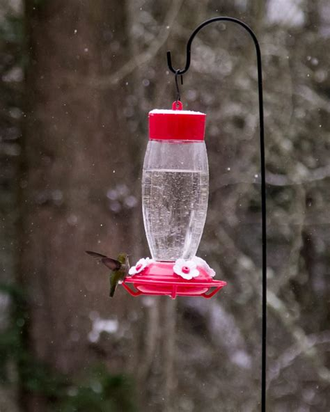 winter hummingbird feederwatch