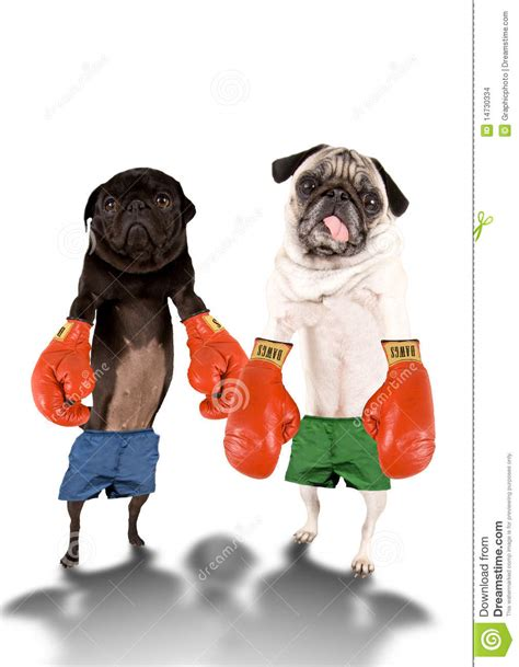 pugs boxing pug boxers stock images image 14730334