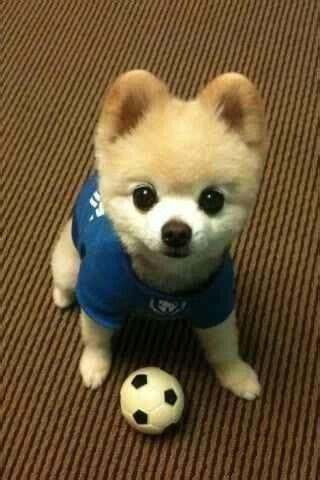 teddy pomeranian puppy pomeranian teddy pomeranians