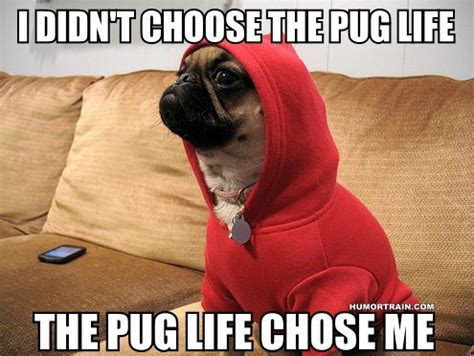 pug jokes pictures pugs pictures jokes memes pictures