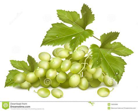 imagenes de uvas con frases uva asoleada uvas verdes con las hojas fotos de archivo