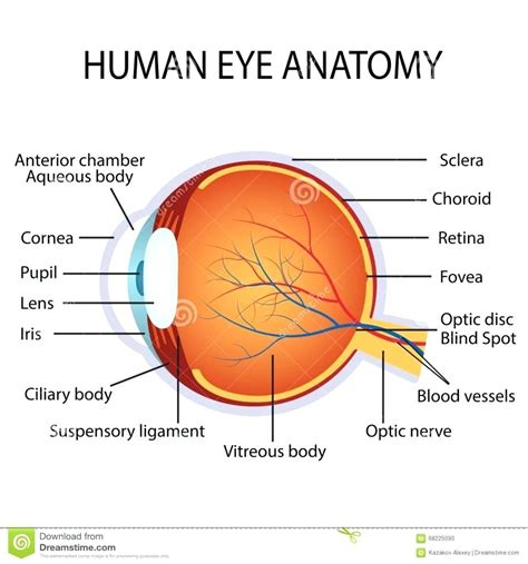 eyeball diagram labeled diagram human eye diagram unlabeled