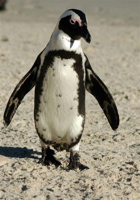 8 Facts On Penguins by Penguin Penguin Facts Habitat