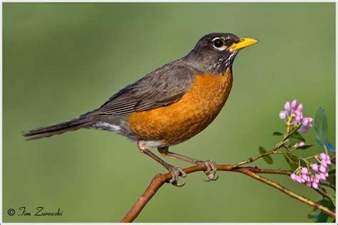 10 best ideas about robin bird tattoos on pinterest