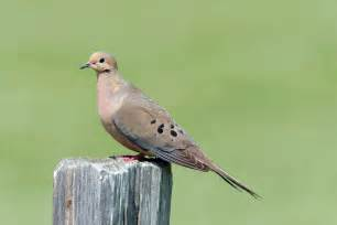 know your doves texas parks wildlife department