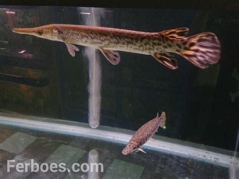 Ikan Hias Ikan Buaya Ikan Aligator ikan buaya itu namanya aligator ferboes