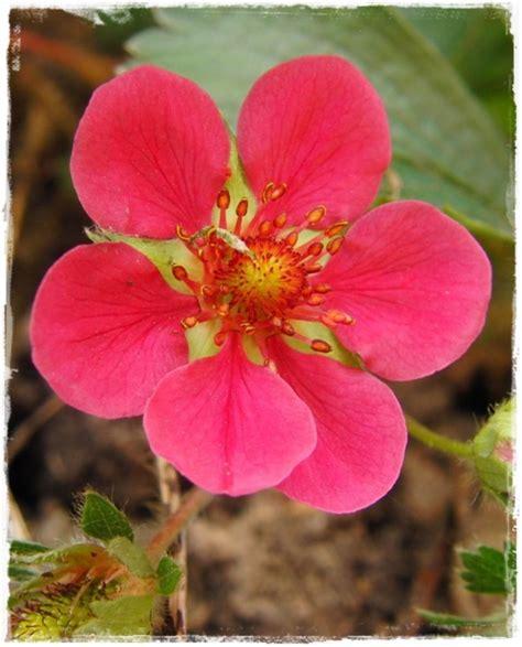 pianta fiore rosso fragola rifiorente lola fiore rosso vendita piante