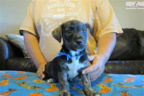 feist puppies for sale mountain feist puppy for sale near western ky kentucky f5af1470 b581