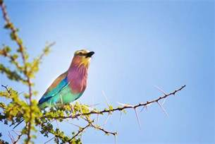 colored birds travel photo of the day beautiful colored bird in kenya