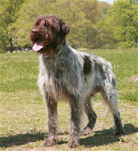 wirehaired griffon puppies wirehaired pointing griffon breed information