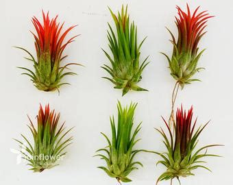 Tillandsia Fuego By Fab Outlet items similar to air plant trio ionantha fuego pack on etsy