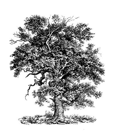 oak tree drawing oak tree drawing something like this to be coming out