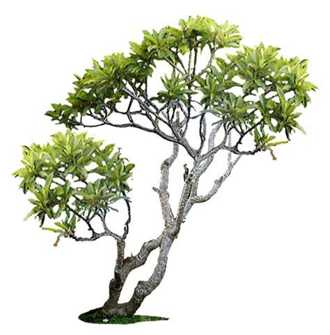 plomeria olivera texture jpg frangipani tropical plant