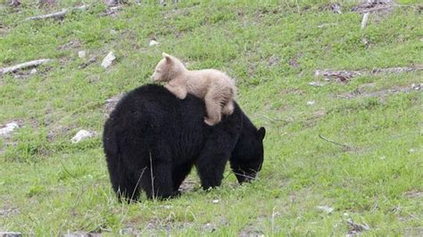 Black Bears black cub with white coat baffles scientists