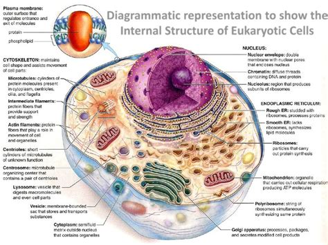 diagram of an eukaryotic cell 14 best newton s of universal gravitation images on