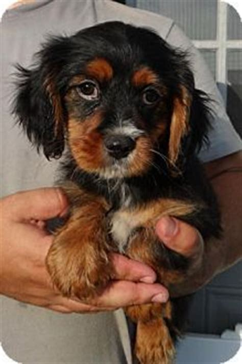 king charles yorkie mix king charles yorkie cavalier king charles spaniel x terrier mix info pictures