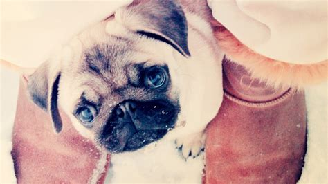 pug dogs names 70 most popular pug names
