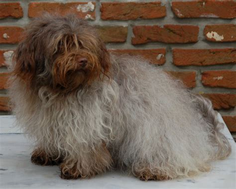 silver havanese chocolate brown havanese breeds picture