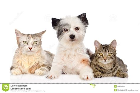 two dogs and a cat and two cats together isolated on white background stock photo image of friends