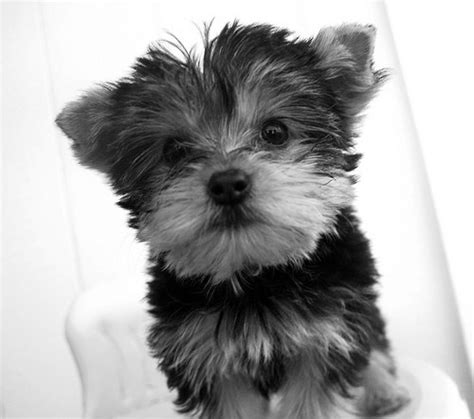 black and white yorkies black and white yorkie princess 8 x 10 photography by dolcechic