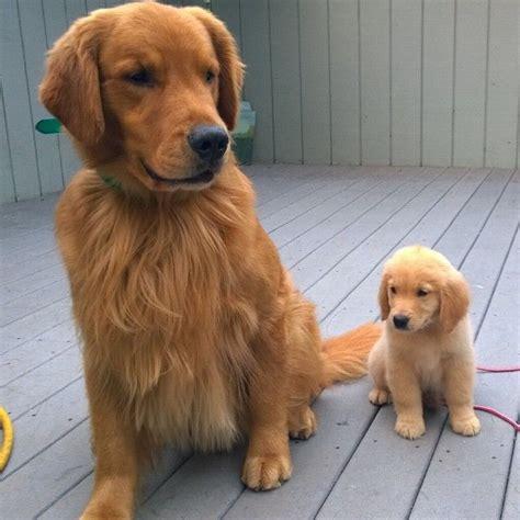 how big do golden retrievers grow the 25 best golden retriever puppies ideas on retriever puppy golden