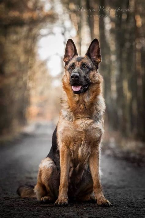 10 reasons why german shepherds are the best looking dogs