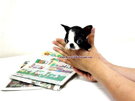boston terrier puppies for sale in florida pin teacup boston terrier puppies for sale in florida on