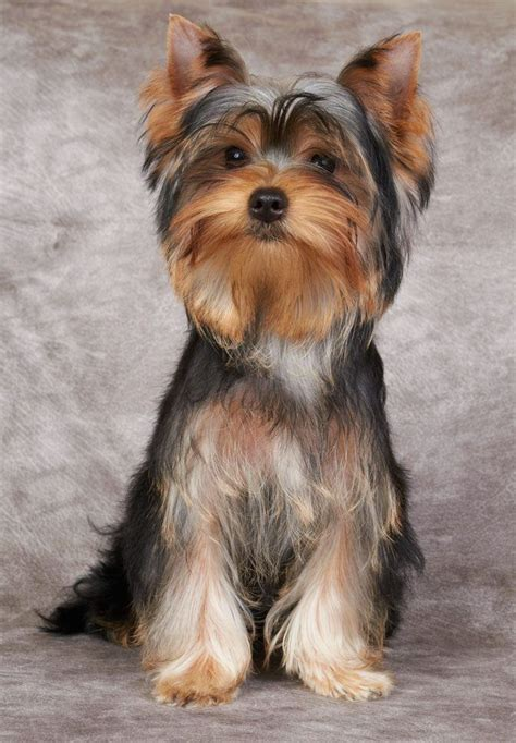yorkie puppy names for females yorkie names terrier names pictures of names and pets