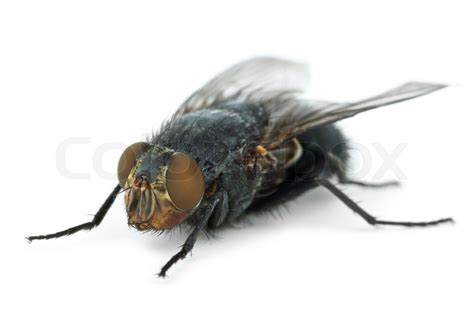 flying with large big fly calliphora vicina stock photo colourbox