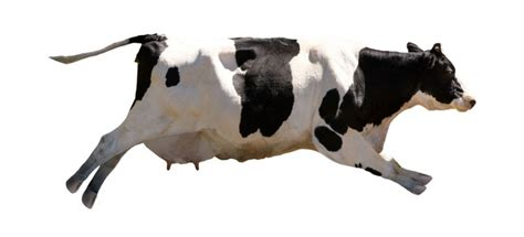imagenes de vacas sin fondo cuadro vaca volando 100 a medida