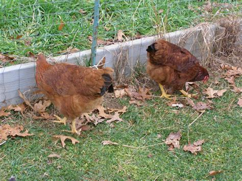 backyard chicken forum new hshire red backyard chickens