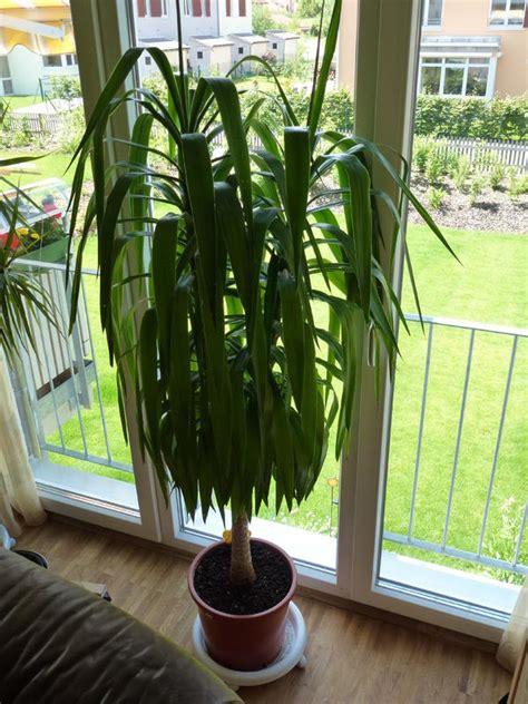 yucca palme schlafzimmer wohnzimmer pflanzen palme ihr ideales zuhause stil