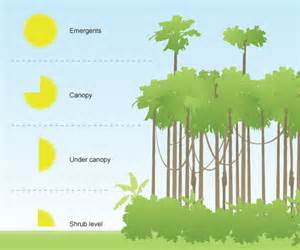 Tree Canopy Definition Rainforest Vegetation Levels Geography 7 Omega
