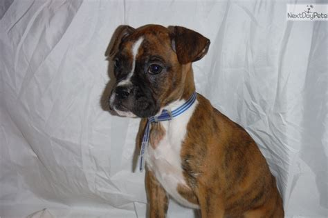 puppy finder ma boxer puppy for sale near boston massachusetts 10adfbc7 2f81
