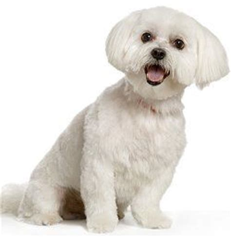 havanese housebreaking problems 1000 ideas about maltese haircut on maltese maltipoo and maltese dogs