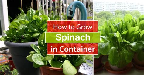 grow spinach  pots growing spinach