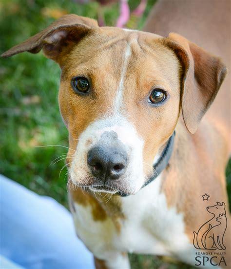 6 month pitbull puppy josie 6 month pitbull hound mix baby fever