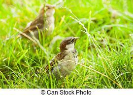 passero alimentazione passeri immagini di archivi fotografici10 616 passeri