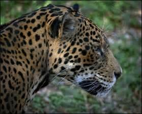 Jaguar Okc Jaguar In Profile Taken At Oklahoma City Zoo Oklahoma