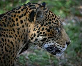 Oklahoma City Jaguar Jaguar In Profile Taken At Oklahoma City Zoo Oklahoma