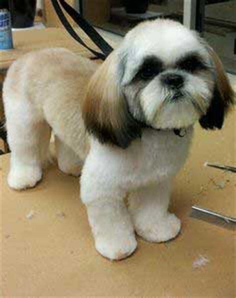 pictures of haircut teddy bear cut shihtzu teddy bear cut shih tzu