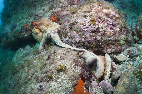octopus l valentine s day octopus mating event canceled due to