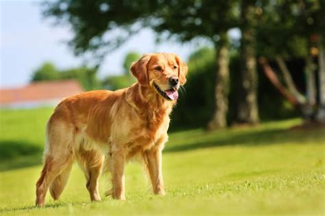 kennel size for golden retriever golden retrievers health history appearance temperament maintenance