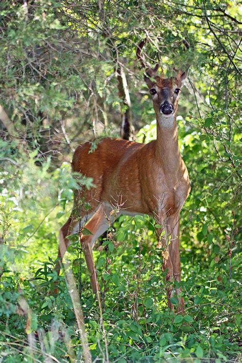 Mather In Velvet whitetail deer buck in velvet 6 pointer photograph by