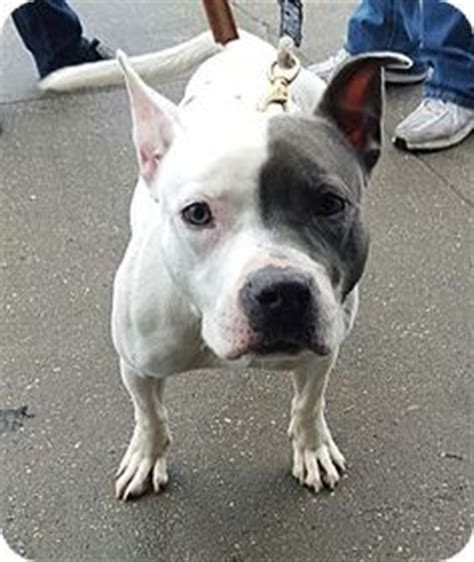 pitbull puppies for adoption ny 1000 images about villalobos dogs rescue on pit bulls parolees