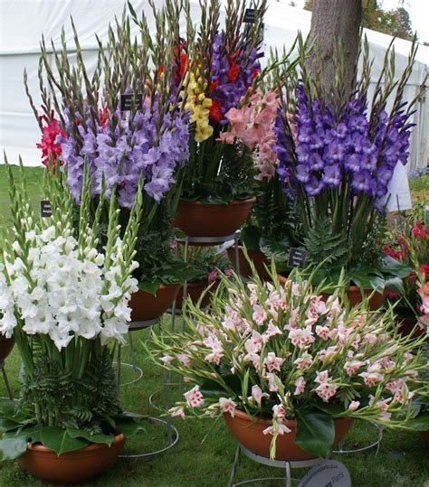 how to grow a flower garden growing gladiolus in pots tips for planting gladiolus in